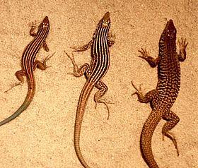 280px-Cnemidophorus-ThreeSpecies