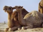 camels-444-8